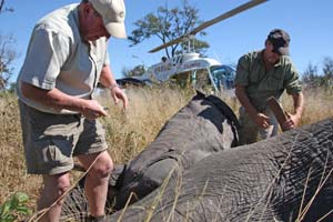 helicopters and elephant being collared